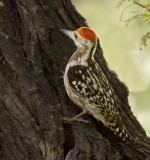 Yellow-crowned woodpecker(M)-2262
