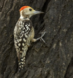 Yellow-crowned woodpecker(M)-2264.