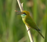 Green bee eater-4463