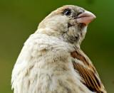 House Sparrow -4556