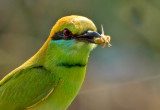 Green Bee Eater&Bee-4716