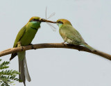 Green Bee Eater-4700