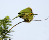 Green bee eater-4066