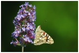 Distelfalter - Painted Lady