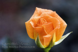 Small Orange Rose 2_1.JPG