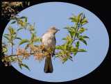 Mockingbird in Morning Light