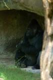 Chillin' Gorilla