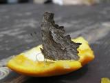 22 - Hoary Comma (Polygonia gracilis).jpg