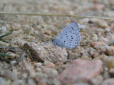 34 - Yet Another Spring Azure.jpg