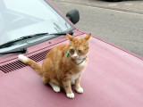 Red Cat ¹1 (embarrassed)