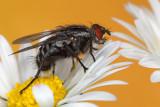 sexy fly (IMG_8471m.jpg)