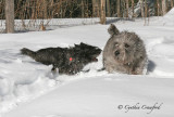 Terriers at play in the Snow