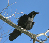 Ravens in Vermont