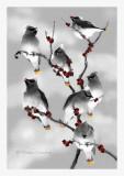 Cedar Waxwings-infrared