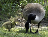 Canada Goose and Gosling-approach