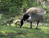 Canada Goose and Goslings- secrets?
