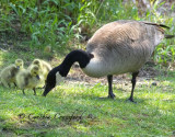 Canada Goose and Goslings- more lessons