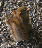 Baby red squirrel-top view