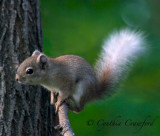Red Squirrel-variant color
