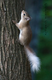 baby red squirrel- white tail