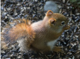 Young red squirrel-top view too