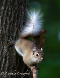 Red squirrel, white/pale variant