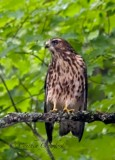 Broad-Winged Hawk in Vermont