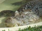 Featherdale Wildlife Park: Croc!