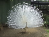 Featherdale Wildlife Park: Albino Peacock
