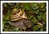 Humbug Snail