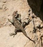 Paphos Lizard (agama)