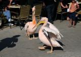 Pelicans, Paphos