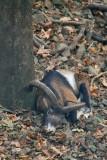 Sleeping Moufflon