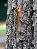 Five Lined Skink (Eumeces fasciatus) adult male