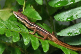 Long Tailed Grass Lizzard - Takydromus sexlineatus  (male)