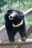 Asiatic Black Bear (Ursus thibetanus)