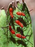 Leaf Footed Bugs - Leptoglossus