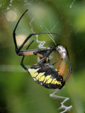 Argiope aurantia Spinneret in operation