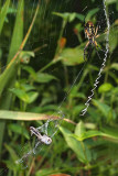 Spider Argiope aurantia with Dragonfly