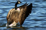 Renewal of Life~The Canadian Goose Gallery
