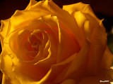 A Rose is Not Just a Rose