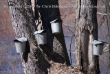 Maine Sap Buckets