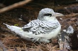 White-tailed Tropicbird, Chick