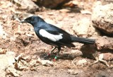 Seychelles Magpie-Robin