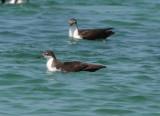 Galapagos Shearwater