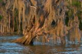 Sinking Cypress