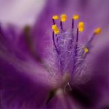 Hairy-Flower