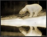 Bear at Bronx Zoo