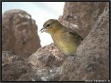 yellowbird 2