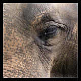 Aziatische olifant close-up